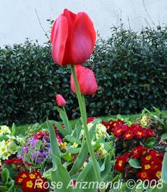 sprinflowerstulips.jpg